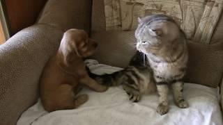#Дружба щенка и кота#Щенок играет с котом#Английский кокер спаниель