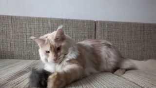 Mainecoon Dracula White Lynx*BY - кот породы мейн-кун вес 10 кг