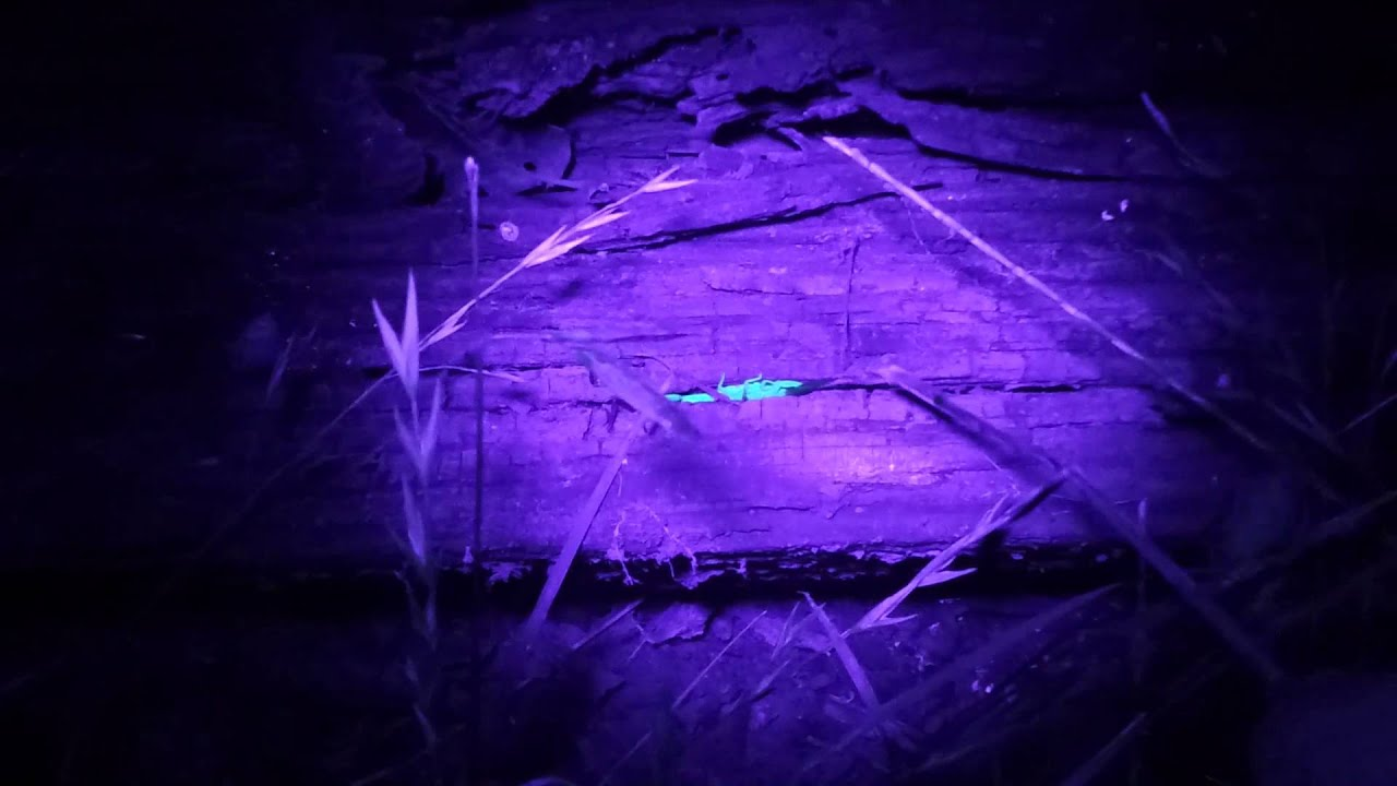 Hunting scorpions with UV light - YouTube