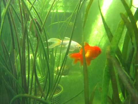goldfish en estanque acuario youtube