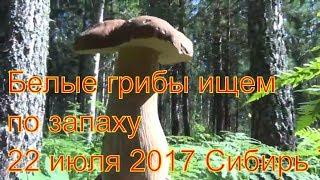 Поход в лес белые грибы ищем по запаху 22 июля 2017 белый груздь легко найти сибирь тайга природа вы