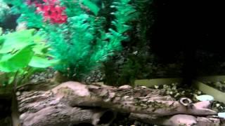 золотые рыбки (кометы)