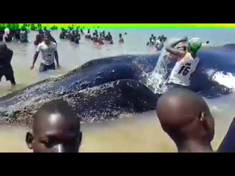 WATCH: Whale beached on Beira beach Mozambique