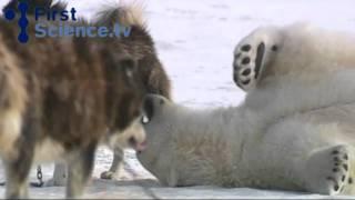 Белый медведь и собаки - любовь.avi(Волк и ягненок будут пастись вместе, и лев, как вол, будет есть солому, а для змея прах будет пищею: они не..., 2011-04-19T10:35:14.000Z)