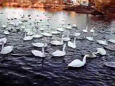 11-01-18-1 水戸市弁天池のハクチョウ白鳥スワンSWANS
