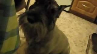 Говорящая собака. Миттельшнауцер.