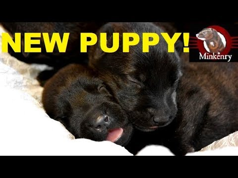Introducing Our Dutch Malinois Puppy!