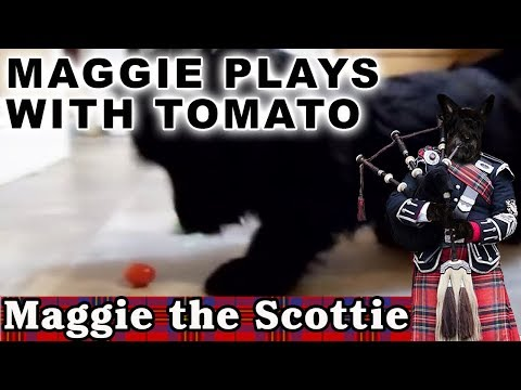 Maggie the Scottie Dog Plays with Tomato, too cute and funny!