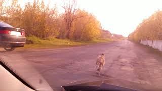 Собака метеор (простая дворняга бежит 50 км в час)Прикол