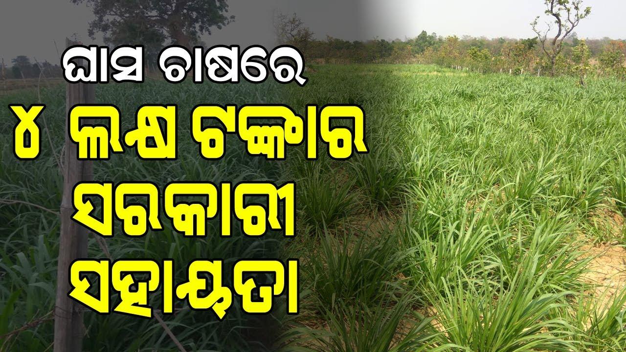 ଘାସ ଚାଷରେ ସରକାରୀ ସହାୟତା ପାଆନ୍ତୁ ( ଓଡ଼ିଶା ସରକାରଙ୍କ ଚାଷୀଙ୍କ ପାଇଁ ନୂତନ ଯୋଜନା ) grass farming in MGNREGS