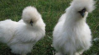 Китайская шелковая курица.Декоративные породы кур. Породы кур