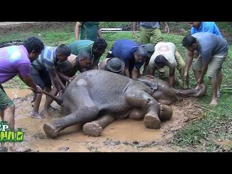 Injured Baby elephant !