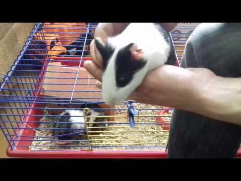 Как определить пол морской свинки в домашних условиях