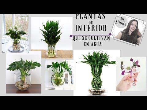 PLANTAS DE INTERIOR QUE SE CULTIVAN EN AGUA. Indoor plants that are grown in water.