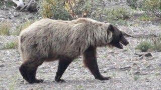BEAR OR BIGFOOT? (sa6)