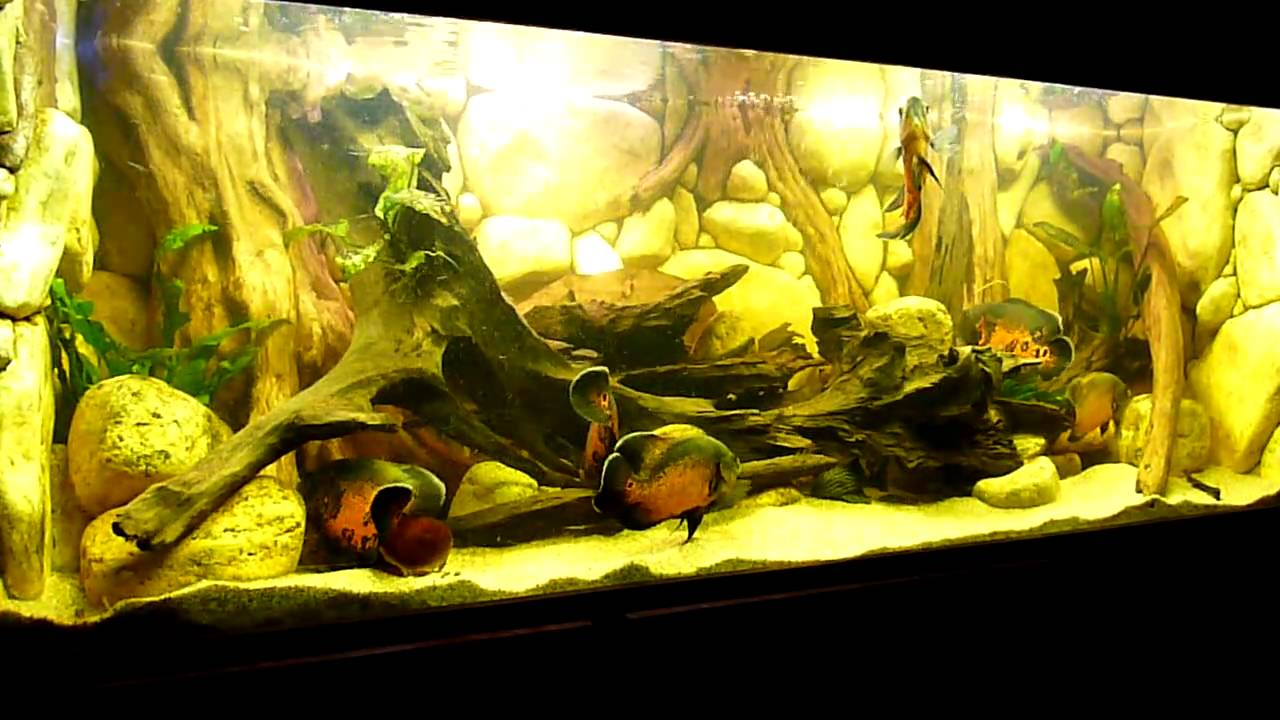 2010 09 01 archive likewise Oscar Fish Care moreover Giant Gourami Tolerate Tank Mates besides Watch in addition Apteronotus Albifrons. on oscar fish mates