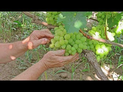 Виноград Аркадия, отзыв Якушенко В.Е.  Белый виноград