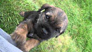 "Kilcreggan Border Terrier Puppy ""green"" Coming To Say Hi - 6 Weeks 6 Days"