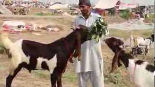 Call for Order on Mobile Eid-ul-Azha 12 Oct 2013  Goats Sheep Camels Cattle Cows Lahore Pakistan
