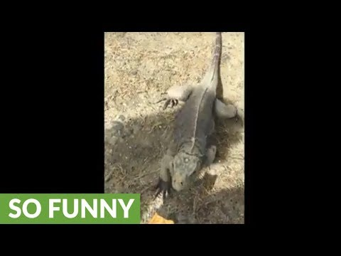 Iguana prefers human's finger instead of chips
