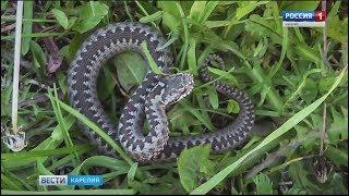 Змеи облюбовали набережную в Петрозаводске