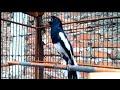 Burung Kacer Gacor Buka Paruh Satu Ini Dijamin Cocok Buat Pancingan Kacer Macet Bahan Jadi Gacor  Mp3 - Mp4 Download