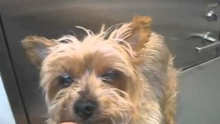 http://www.doggies.tv ヨークシャテリアならでわの綺麗なシルキーコー...