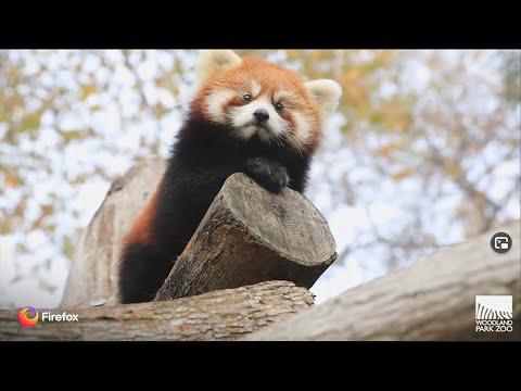 Red Panda Cubs — Firefox + Woodland Park Zoo