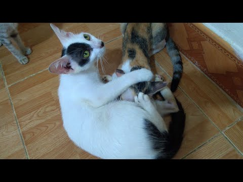 The Mother Cat Said to Little Cat: No More Sucking, No More Milk