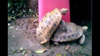 เต่าเหลืองผสมพันธุ์ Elongated Tortoise Mating