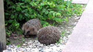 Two European Hedgehogs