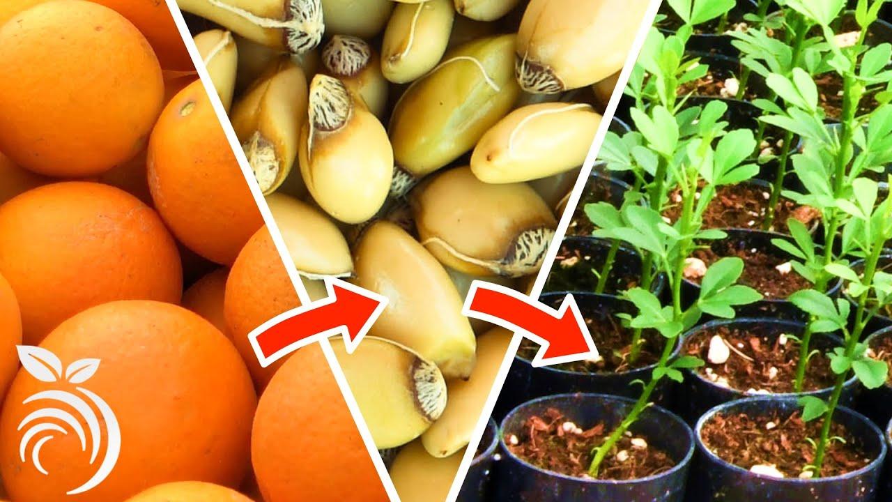 Trồng cây cam quýt từ hạt - từ khi thu hoạch quả đến khi nảy mầm
