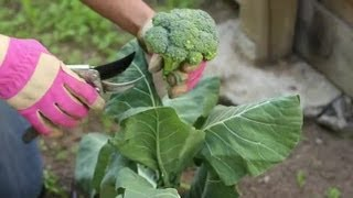 How to Harvest Broccoli Plants : Vegetable Gardening