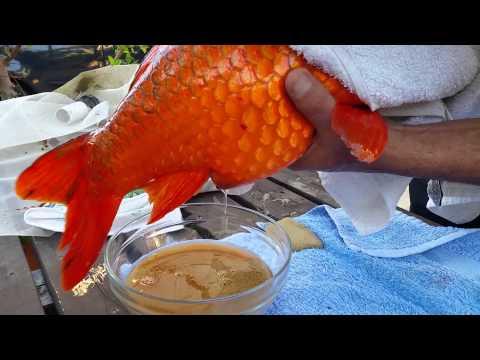 KOI hand breeding