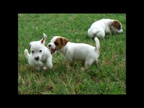 Quail Ridge Kennel's Jack Russell Puppies