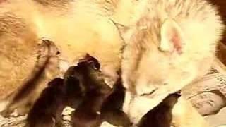 5月19日生まれのシベリアンハスキーの子犬です。 オス2頭、カラーはブラ...