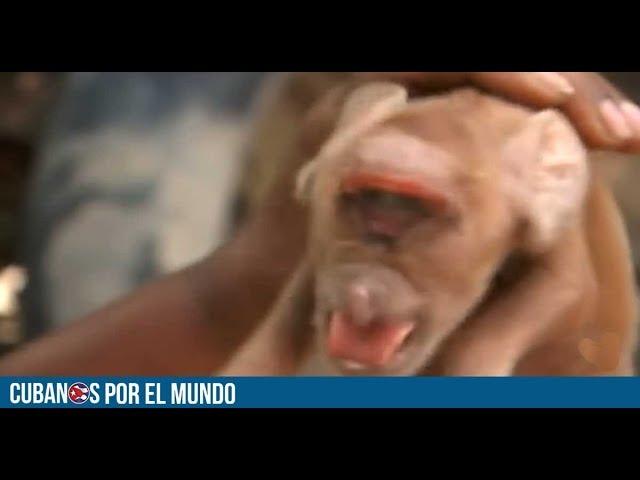 Nace un cerdo con cara de mono en Cuba