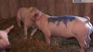 07 06 16 АЧС свиней