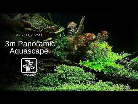 Stunning 3 metre Panoramic Aquascape - 180 Day Update
