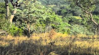 Rhinos chasing a pride of lions from where they were resting while ...