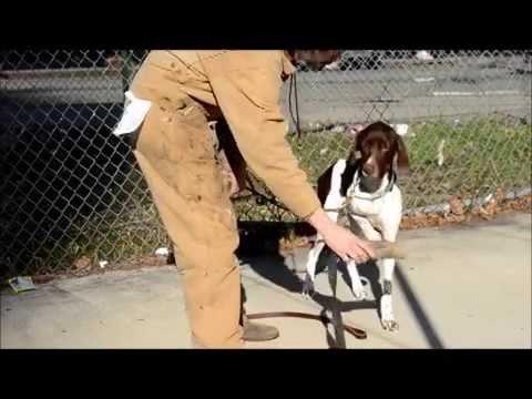 Dog Training -Teach Pointer to Point