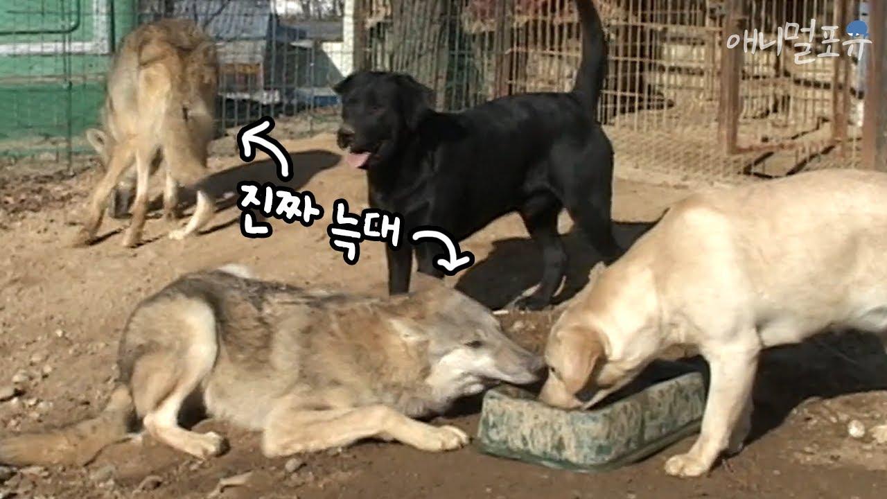 늑대개 아니에요! 개들과 어울리는 늑대 두 마리 | KBS 주주클럽 051127 방송