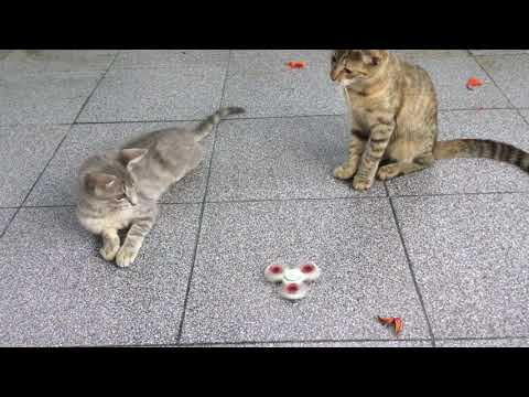 Cat playing with a Fidget Spinner