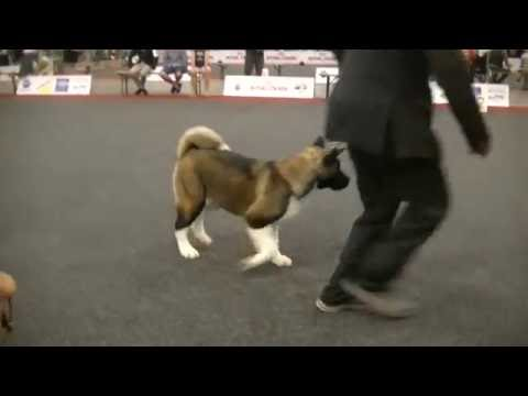 American Akita female pup EU dog show 2016