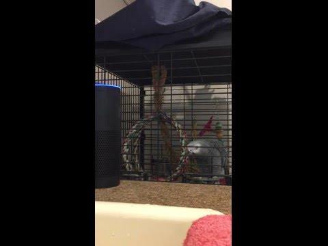 african grey parrot talking to amazon Alexa