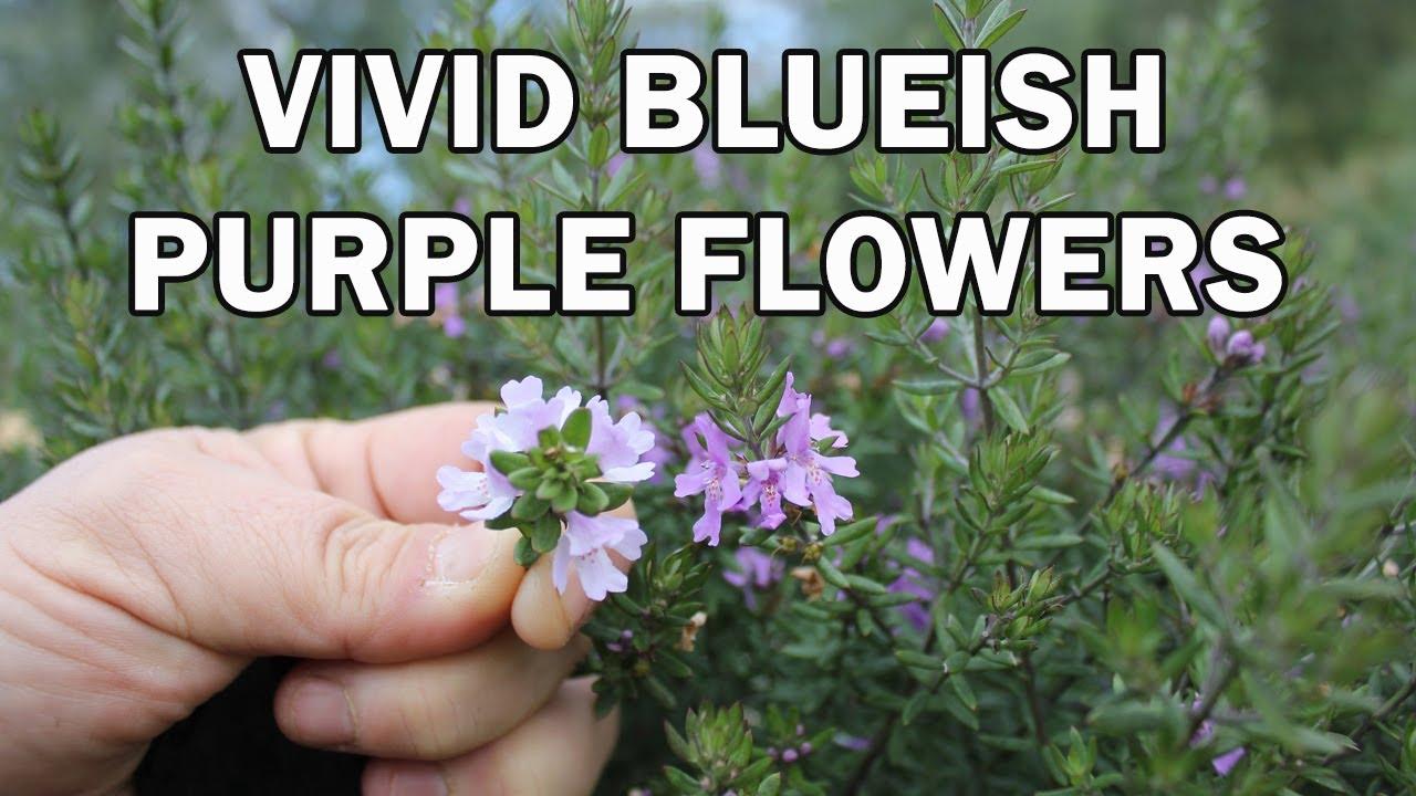 Blue Gem Westringia Native Shrub With Vivid Bluish Flowers