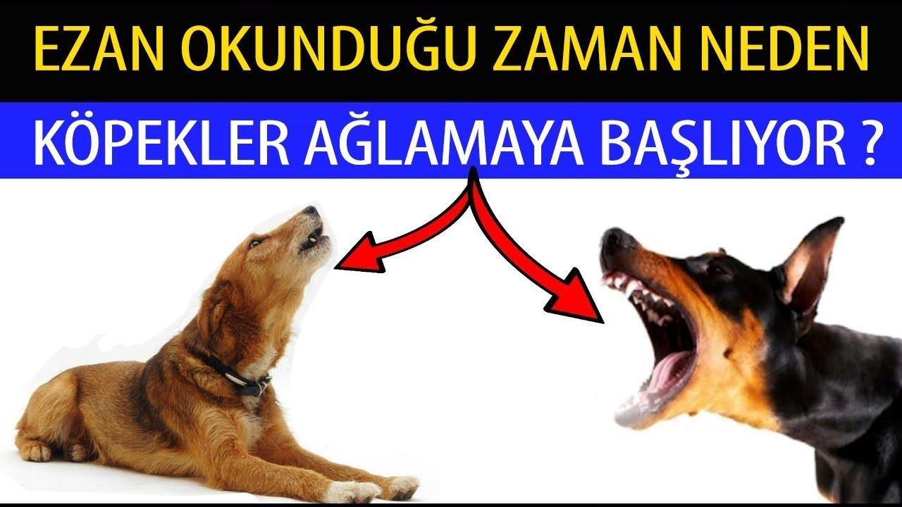 Ezan Okunduğu Zaman Neden Köpekler Ağlamaya Başlıyor ?