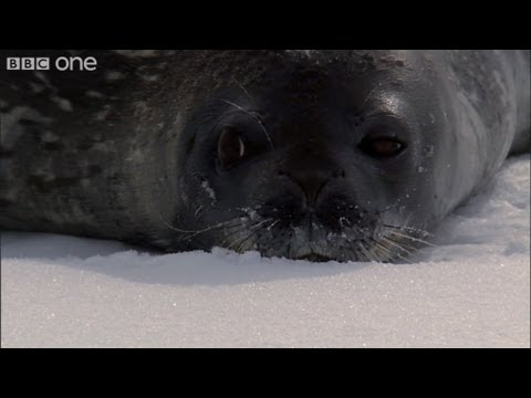Orca Wave Washing - Frozen Planet - BBC One
