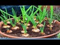 How To Growing Shallots In Pots