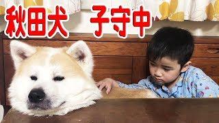 grandchild and German Shepherd dog 秋田犬元気に子供と遊びます。 そ...